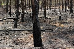 Burned trees in forest stock photography