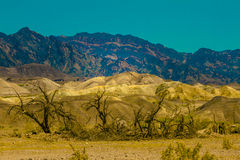 Burned Trees in front of Golden Mountains in Death Valley National Park, California Royalty Free Stock Image