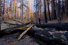 Burned trees after the wildfire, Lassen National Park. Burned trees and logs after a wildfire, Lassen National Park Royalty Free Stock Images