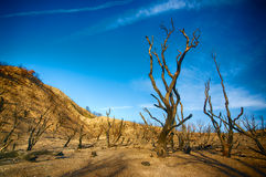 Burned Wildfire Forest. Burned trunks of trees in area of forest wildfire in southern California Royalty Free Stock Image