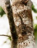Burnese gjorde randig ekorresammanträde på ett trädhuvud ner, Khao Sok, Thailand Royaltyfria Foton