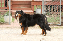 Burnese Mountain Dog by farm gate Royalty Free Stock Photography