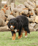 Burnese Mountain Dog by logs Stock Image