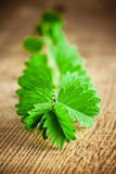 Burnet. Herb similar to parsley on a wooden background Stock Photo