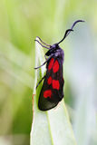 Burnet butterfly Royalty Free Stock Images