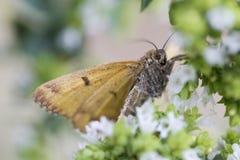 Burnet Companion moth Euclidia glyphica. Closeup image of a Burnet Companion Moth Euclidia glyphica Stock Image