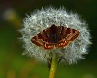 Burnet Companion Moth Euclidia glyphica perching. On a blossomed dandelion royalty free stock photos
