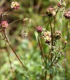 Burnet de la ensalada, burnet del jardín, pequeño burnet, menor de Sanguisorba Foto de archivo libre de regalías