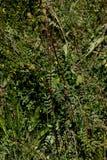 Burnet de la ensalada, burnet del jardín, pequeño burnet, menor de Sanguisorba Foto de archivo