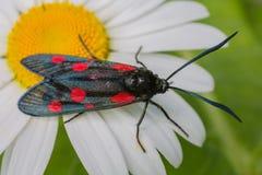 Burnet del seis-punto de la mariposa (filipendulae de Zygaena) en manzanilla Foto de archivo