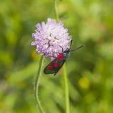 burnet do Seis-ponto, filipendulae de Zygaena, traça na flor da escabiosa de campo, Arvensis de Knautia, com macro do fundo do bo Fotografia de Stock
