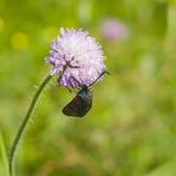 burnet do Seis-ponto, filipendulae de Zygaena, traça na flor da escabiosa de campo, Arvensis de Knautia, com macro do fundo do bo Imagens de Stock