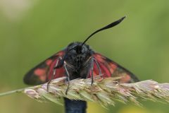 Burnet moth face portrait. Burnet moth facial portrait with wings open stock images