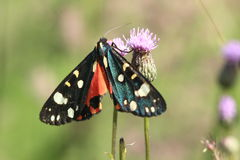 Burnet moth. On the plumeless thistle Stock Photos