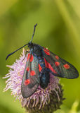 Burnet moth. On A Thistle Stock Photo