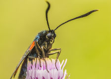 Burnet moth Stock Image