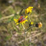 Burnet moth Zygaena purpuralis on yellow flower in summer. A family of Lepidoptera. About 1,000 species Royalty Free Stock Images