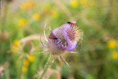 The Burnet moths Royalty Free Stock Photos