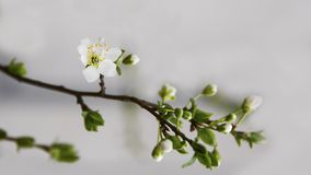 Burnet rose among the first vesicles of the spring begins to flourish. Blooming. white flowers on the branch with small green leaves suggest the beginning of royalty free stock photography