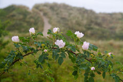 Burnet rose. Rosa pimpinellifolia or Rosa spinosissima in the dunes Royalty Free Stock Photography