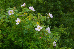 Burnet rose. Rosa pimpinellifolia or Rosa spinosissima in a forest Stock Photography