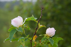 Burnet rose. Two flowers of Burnet rose, Rosa pimpinellifolia or Rosa spinosissima dunes, covered with dew drops Stock Images