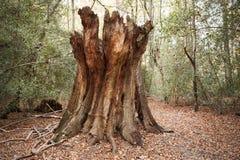 Burnham Beeches UK - 7 November 2016: Död trädstam i trän på Burnham Beeches In Buckinghamshire Royaltyfri Fotografi