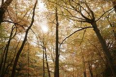 Burnham Beeches UK - 7 November 2016: Markis av Autumn Trees At Burnham Beeches i Buckinghamshire Royaltyfri Bild