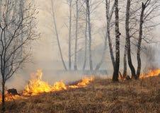 Burning birch forest Stock Image