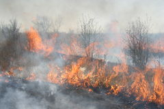 Burning brushwood. Fire in the bush, burning young trees and dry grass Royalty Free Stock Image