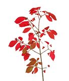 Burning Bush Stock Photos