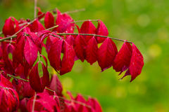 Free Burning Bush Stock Photos - 92236963