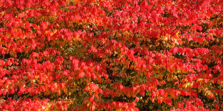 Burning bush banner Royalty Free Stock Image
