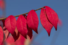 Burning Bush Bracnh. Burning Bush Red Pedals and branch in full bloom at fall in Rochester Michigan royalty free stock image