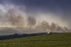 Burning the bush. A lone sheep stood on the pennine moors with smoke in the background from controlled burning of the shrub stock images