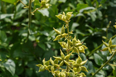 Burning bush, seed capsule, dictamnus albus commonly called gas Stock Photography