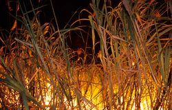 Burning the cane. In sugar plantation royalty free stock images
