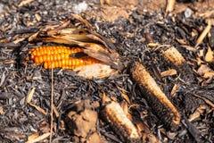 Burning corn after harvest season Royalty Free Stock Image