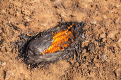 Burning corn after harvest season Royalty Free Stock Photos