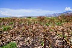Burning da colheita, consequências do incêndio do bastão de açúcar Imagem de Stock Royalty Free