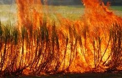 Burning della canna da zucchero Immagine Stock Libera da Diritti