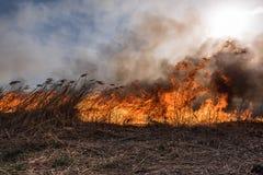 Burning dry reeds. Royalty Free Stock Image