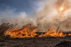 Burning dry reeds. Royalty Free Stock Photography