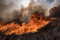 Burning dry reeds. Stock Image