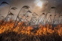 Burning dry reeds. Stock Photos