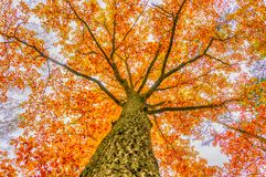 Burning fall tree I Royalty Free Stock Photography