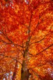 Burning fall tree II Royalty Free Stock Images