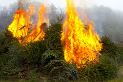 Burning fire and open flame on Fir Trees Royalty Free Stock Photography
