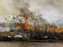 The burning fire spreads through the dry grass on the river bank and the smoke goes into the gray sky. The burning fire spreads through the dry grass on the Royalty Free Stock Images