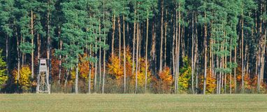 BURNING FOREST. Colorful autumn beech among pines Stock Photography